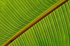 'Banana Leaf' by Angela Rixon