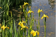'Flag Iris 1' by Peter Crook