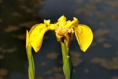 'Flag Iris 2 (close-up)' by Peter Crook
