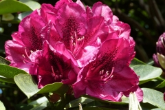 'Rhododendron 2' by Millicent Lake