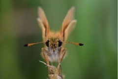 'Essex Skipper' by Robert Edmondson