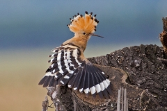 'Hoopoe Stretch' by Mike Thurner