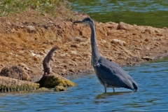 'Stoat vs Heron' by Mike Thurner